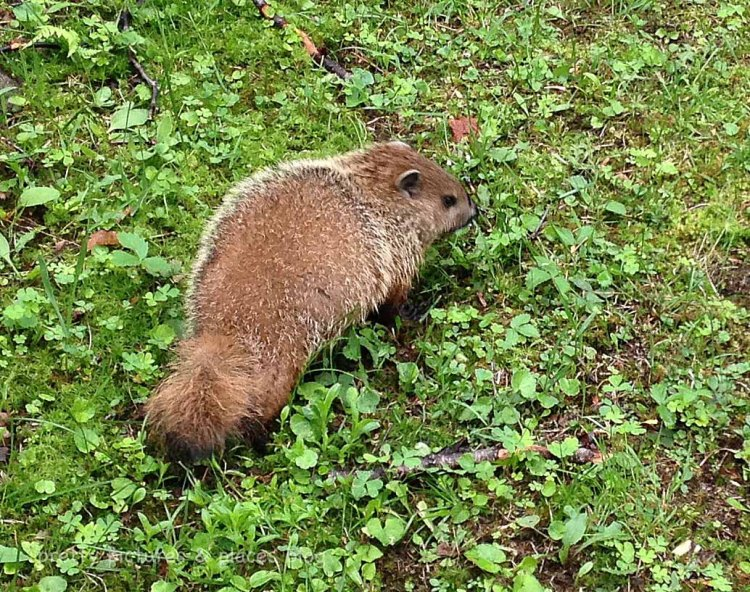 My first groundhog sighting!